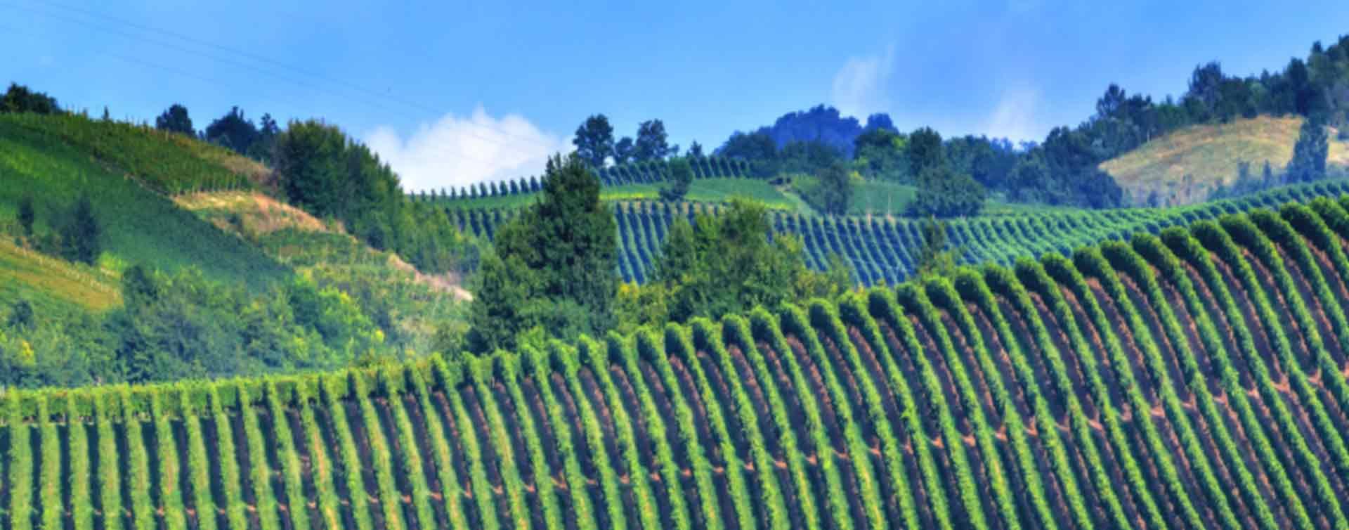 italian-vineyard1